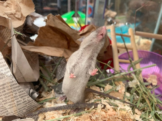 Mice for adoption in San Diego CA! Val210