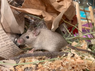 Mice for adoption in San Diego CA! Val310