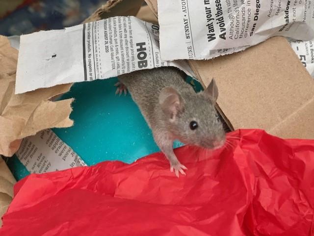 Mice for adoption in San Diego CA! Xavi10