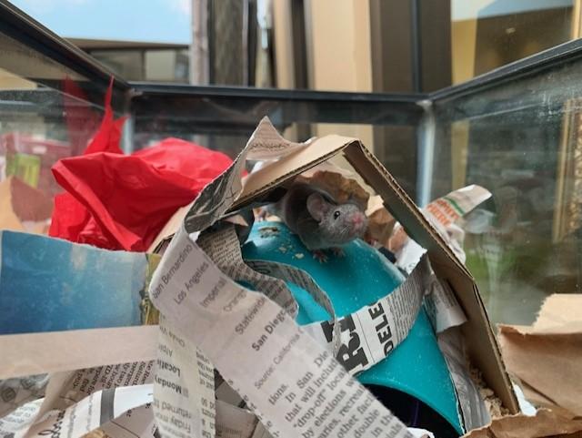 Mice for adoption in San Diego CA! Xavi110
