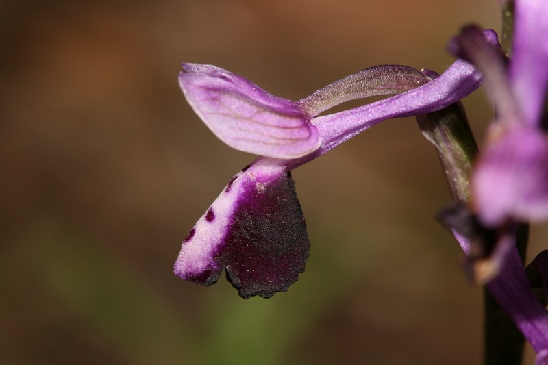 Anacamptis longicornu ( Orchis à long éperon ) Longi210