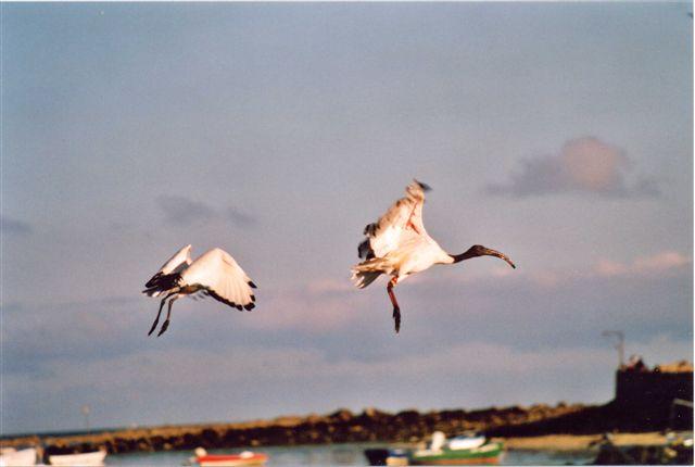 Ibis de Bretagne Ibis10