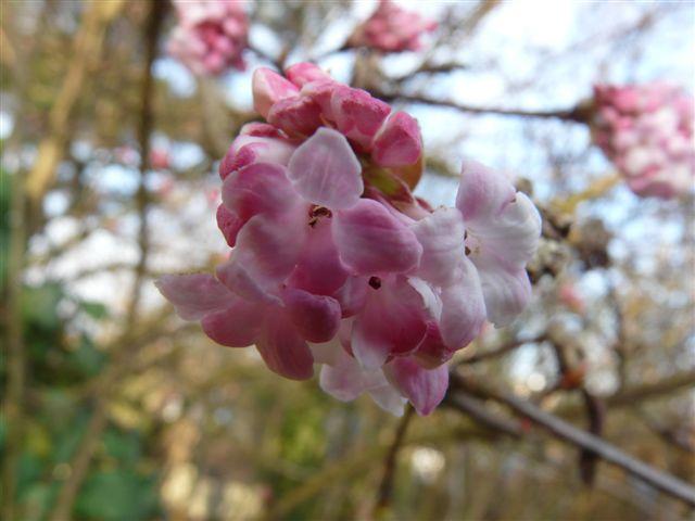 Viburnum du Jardin Bota . 26 Nov.08 Jardin50