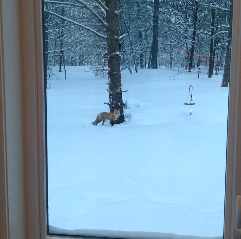 En prenant mon café... Un petit renard futé!!! Img_0110