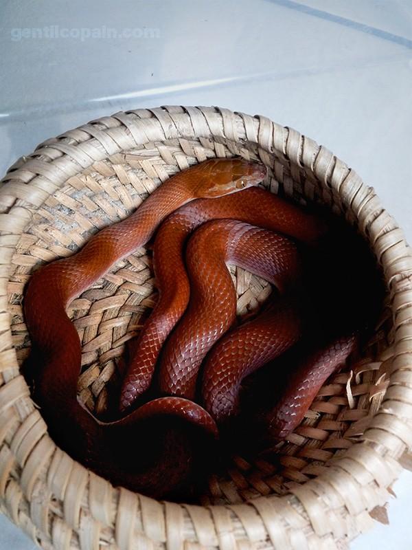 "Mon couple de fulliginosus ""rot Kenya"" Boaedo15"