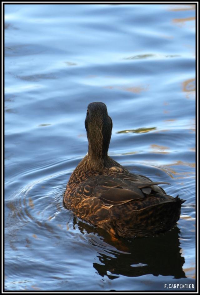 Les canards Canard13