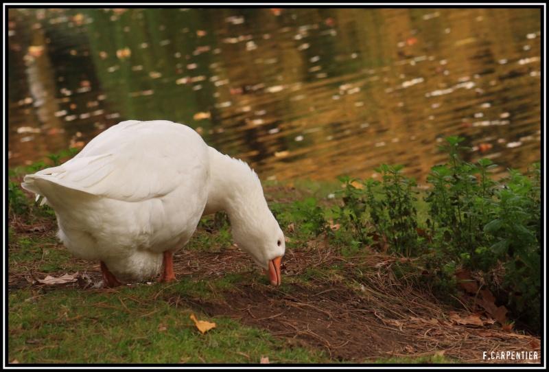 Les canards Oiebla10