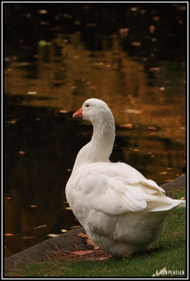 Les canards Oiebla11