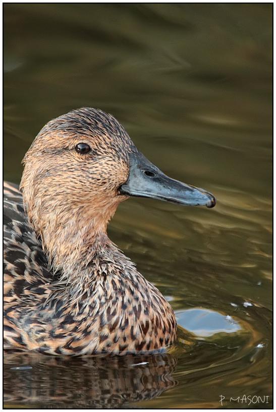 Les canards Pma10310
