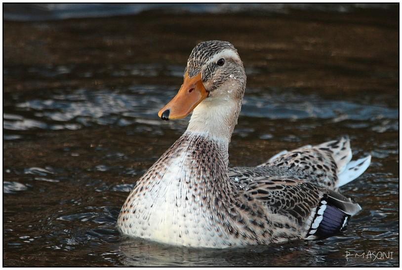 Les canards Pma10312