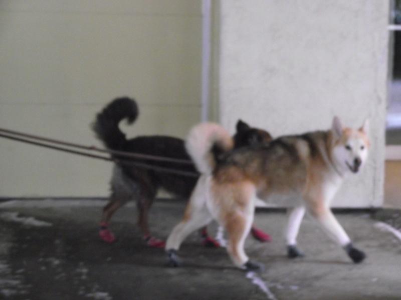 Les animaux domestiques Chiens11