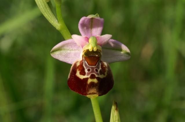 Variation sur Ophrys fuciflora normandes Vallae10