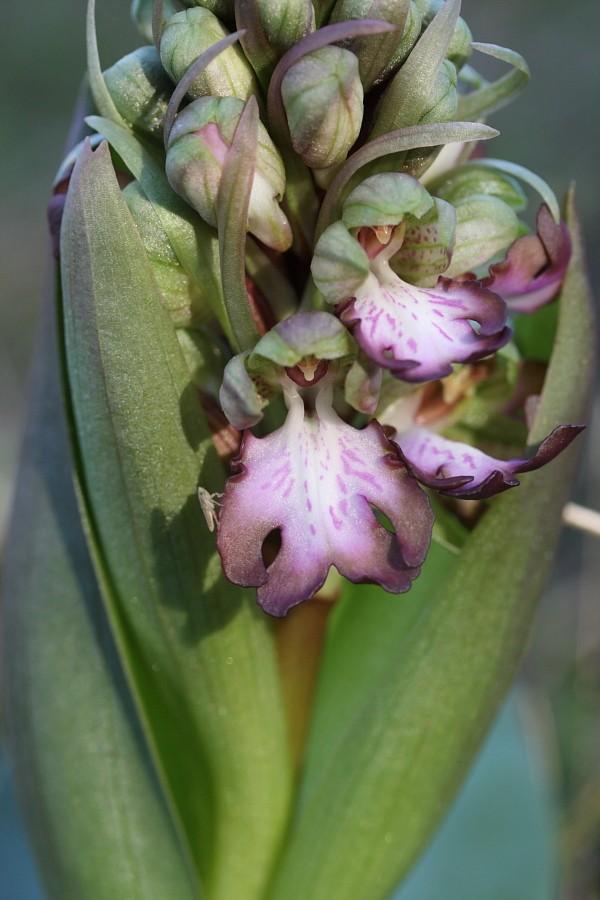Himantoglossum robertianum (Barlia, Orchis géant ) B2_11-19
