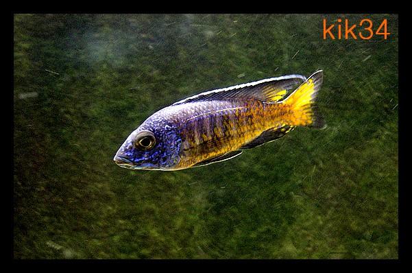photos et videos de vos poissons du malawi Dscn0010
