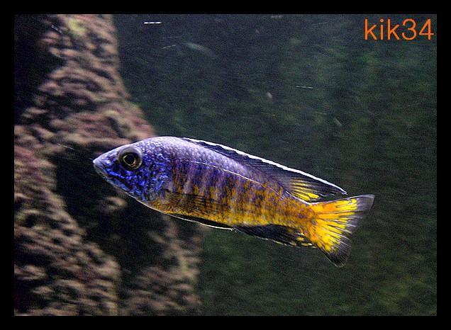 photos et videos de vos poissons du malawi Dscn0012