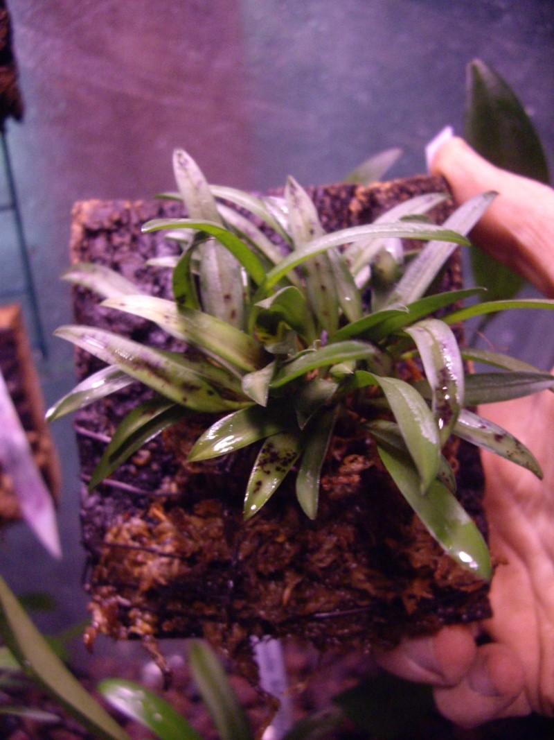 Petites folies d'Orchidays Imgp2842