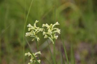 Florilège de Plathantera du nouveau monde.. Usa_411