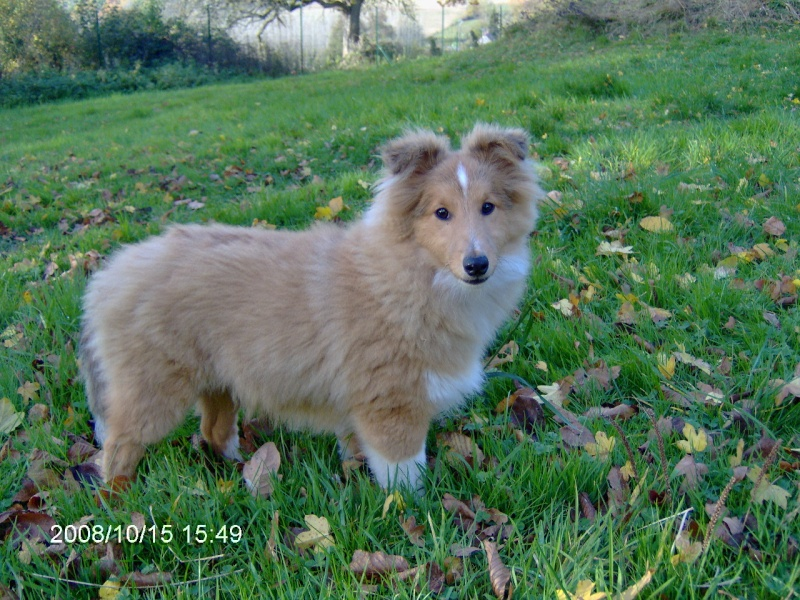 DISPONIBLE MALE SHETLAND FAUVE ( plus disponible ) Dorian10