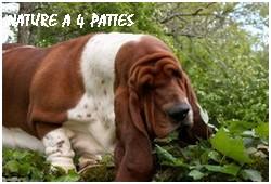créer un forum : basset hound aventures - Portail P000810