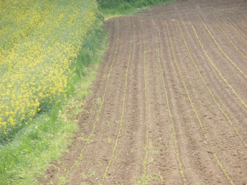 semis de maïs 2013  P5070010