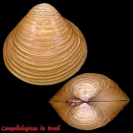 Apteronotus albifrons & discus Corbic10
