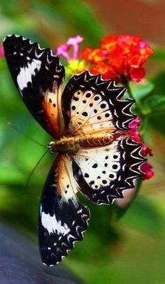 superbes papillons! - Page 2 4b74c210
