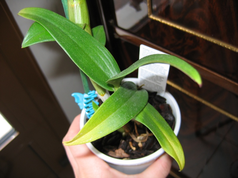 pousse sur dendrobium Orchid11