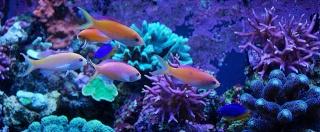 Le bac des Maniacodesrécifs (méthode Reefcorner) - Page 2 Dsc_0013