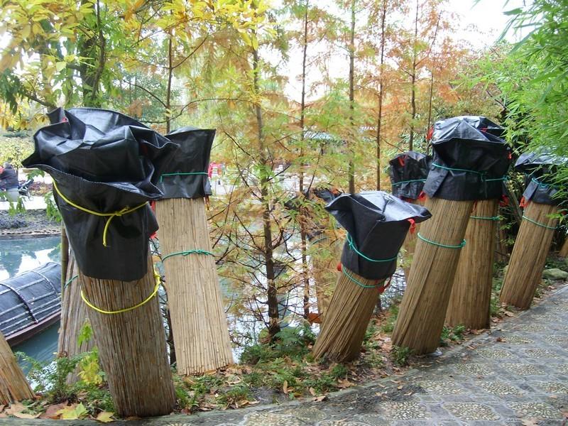 Fougères arborescentes en hiver dans le nord Dickso10