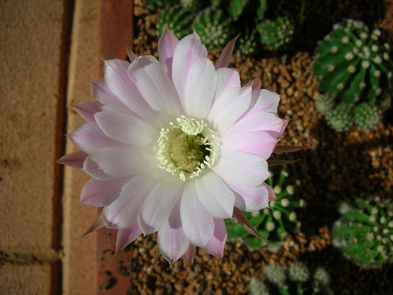 spring cacti flowers - Page 4 Three10