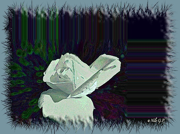 """Nilo """"GRAF"""" - Pagina 2 Rosa1_10"""