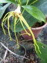 STROPHANTUS dichotorus  P1020324