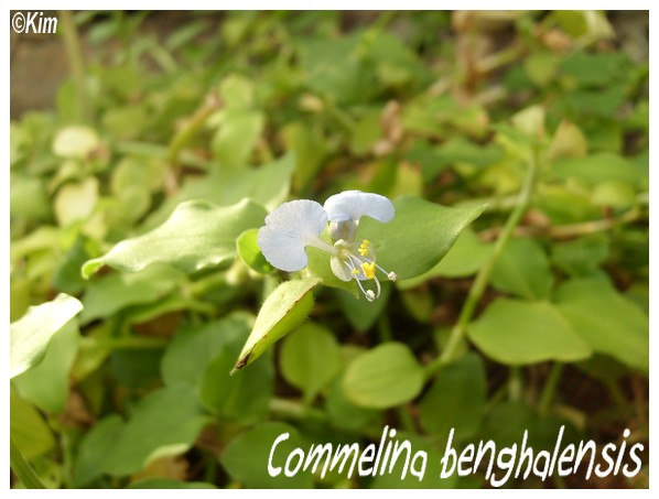 Commelina benghalensis Commel10