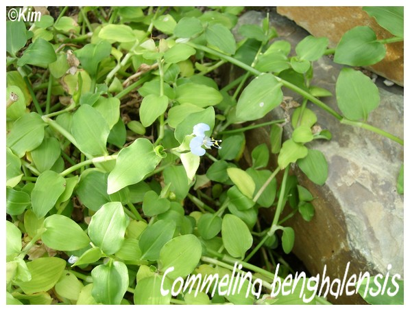 Commelina benghalensis Commel11