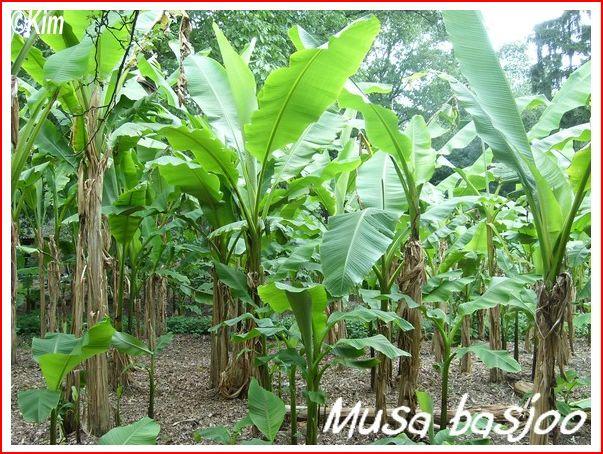 Matériaux pour les silos des protections hivernales pour musa Musa_b12
