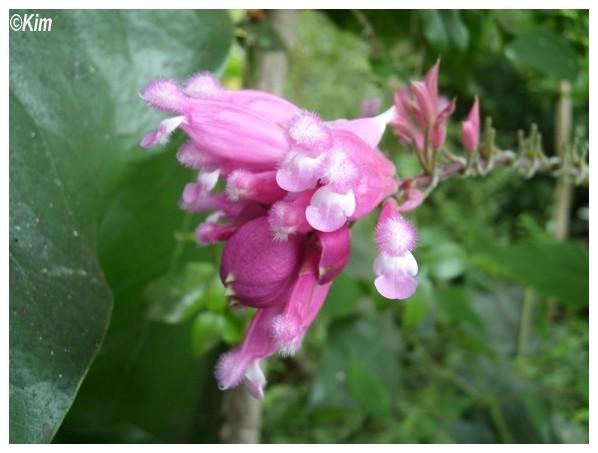 Quiz rose - Salvia involucrata et collection Quiz_r10