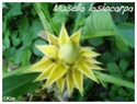Musella lasiocarpa ( Fiche ) Musell14