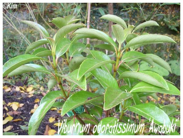 Viburnum odoratissimum Viburn10
