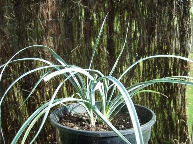 Semis de yucca Yucca_12