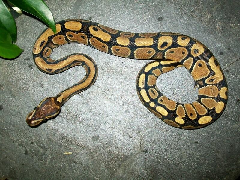 Python royal femelle Python10