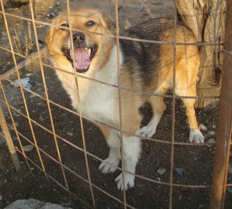 S;O.S   pour les chiens de Pascani (euthanasie programmée ) Danka_11