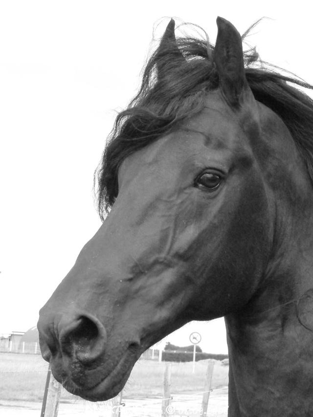 portrait de l'un de mes frisons... P1210811