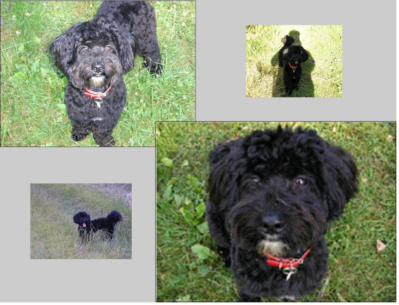 ULYSS, 5 ans, Male, Caniche/Terrier Ulyss_10