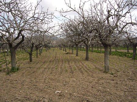 Champ de pistachiers en Grèce (Eginae) en hiver! 59374110