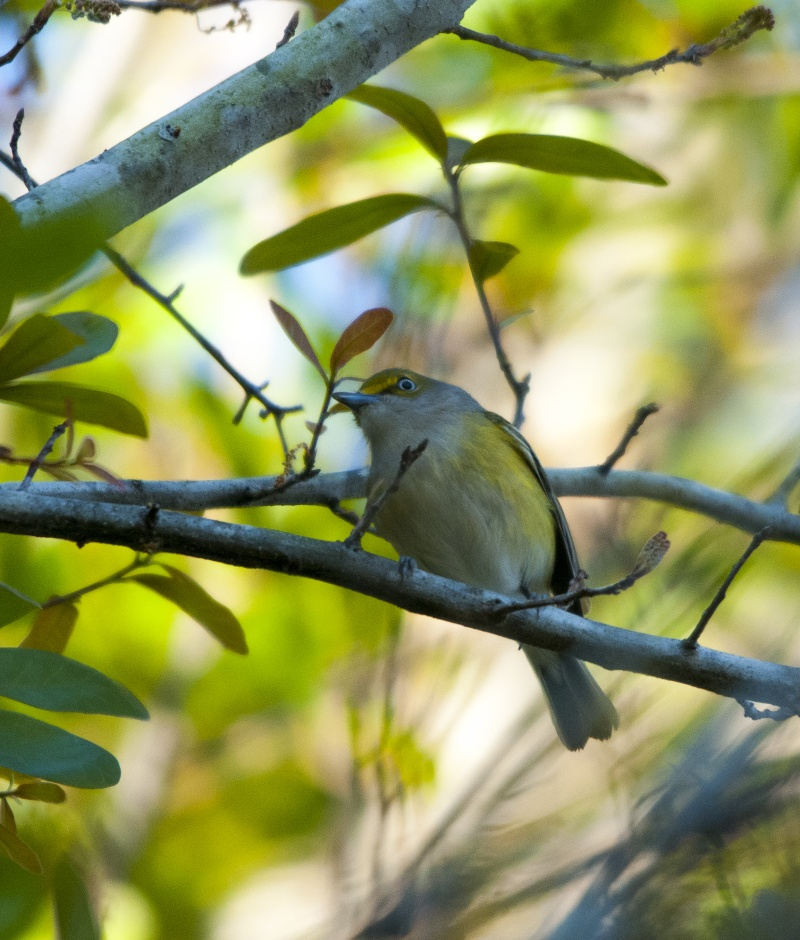 Vireo? Rst-1610