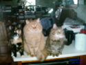 Les animaux domestiques Chats_10