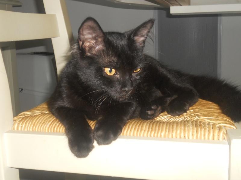 EBENE, magnifique chaton noir de 5 mois, IE n° 250268730226363 Dscn1913