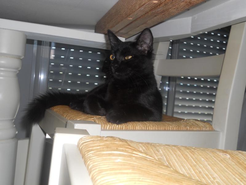 EBENE, magnifique chaton noir de 5 mois, IE n° 250268730226363 Dscn1914