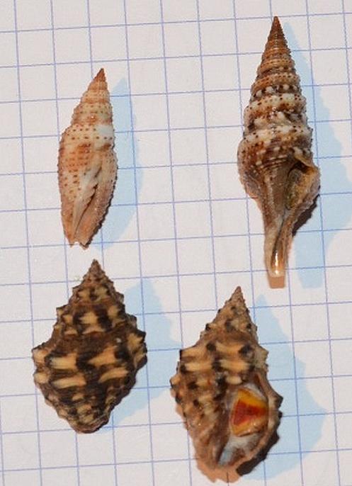 1 Ziba insculpta (Mitridae), 2 Lophiotoma indica (Turridae), 3 & 4 Thais tricolorata Bozzetti, 2010 - Madagascar, Sud Ouest Coquil10