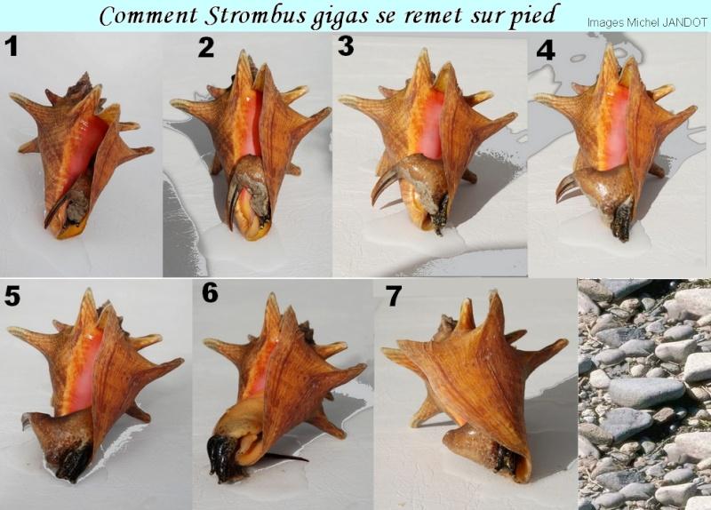 Strombidae Aliger gigas - (Linnaeus, 1758) Stromb11